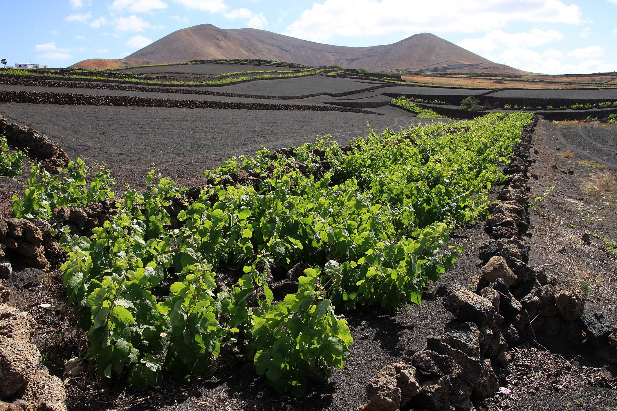 Weinbau auf Lanzarote (Foto: albrecht E. Arnold / pixelio.de)